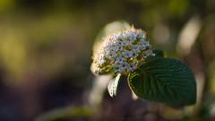 Spring at f/1.8 (Role Bigler) Tags: flower spring dof bokeh depthoffield f18 frhling blten botanik bokelicious canoneos5dsr tamronsp45mmf18divcusd