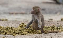 Hamadryas baboon 2016-04-06-0412 (bzd1) Tags: nature animal mammal baboon beeksebergen primates papiohamadryas hamadryas chordata cercopithecidae mantelbaviaan papionini