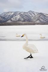 The Lake Kussharu Two-Step,  Whooper Swan Style (Glatz Nature Photography) Tags: winter nature japan wildlife wildanimal mountainlake threatenedspecies cygnuscygnus snowmageddon2016 lakekussharu unpredictableweatherpattern