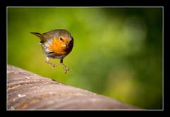 Rocket Robin (One Eye Coombs) Tags: robin