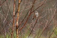Accenteur mouchet ? (Guibs photos) Tags: france bird forest bretagne oiseau forêt britany illeetvilaine liffré passereau passériformes eos7d forêtderennes canonef100400mmf4556lisiiusm