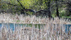 Landing (Out of Focus [sic]) Tags: bird birds landing naturecenter caine