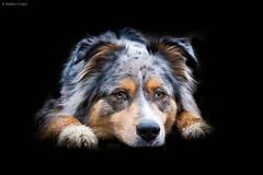 Hyona (Maliss Cogrel) Tags: eyes noir bleu australien merle fond sheperd belu berger particolore