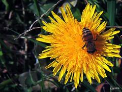 A primavera che appetito  ! DSCN5752_01 (papamillo) Tags: flower primavera spring fiori colori   flowerscolors