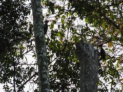 """Parc National de Tikal: deux piverts lors de leur rendez-vous quotidien devant notre chambre <a style=""""margin-left:10px; font-size:0.8em;"""" href=""""http://www.flickr.com/photos/127723101@N04/26211335586/"""" target=""""_blank"""">@flickr</a>"""