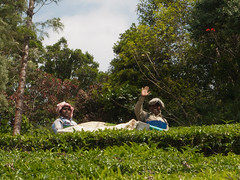 Tea picking - machine (Jackie & Dennis) Tags: tea kerala munnar plantations rwh teapicking ramblersworldwideholidays