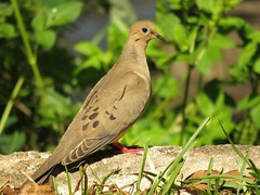Mourning Dove (Gary Helm) Tags: camera usa bird nature birds animal canon outside us wings image florida outdoor dove wildlife flight feathers powershot photograph northamerica mourningdove widespread polkcounty turtledove lakewales americanmourningdove raindove sx60hs ghelm4747 garyhelm