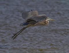 Great Blue Heron, juvenile (AllHarts) Tags: gulfofmexico ngc npc wavelandms mississippigulf juvenilegreatblueheron naturesspirit naturescarousel thesunshinegroup