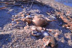 Horseshoe Crabs (mmockingbird) Tags: ocean shells newyork beach water stone sand ryan stones crab longisland rob atlantic seashell horseshoe horseshoes grammy massachusets 2016