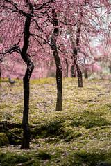 20160229-102717_5K_80 (pya) Tags: kyoto 京都 camellia plumblossoms jonangu 梅花 茶花 城南宮 椿花 weepingplumblossoms