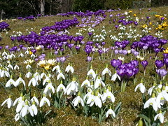 20160320_130735 (HAKANU) Tags: flowers white field garden countryside early spring colours blossom sweden lawn crocus smland snowdrops summerhouse springtime