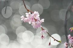 (nobuflickr) Tags: flower nature japan kyoto    weepingjapanesecherry awesomeblossoms  prunusspachianacvitosakura    kamogawariverhananokairou prunuspendulapendularoea 20160405dsc06381