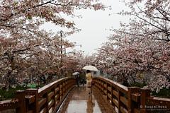 20160407-23-Cherry blossoms along Yamazakigawa river in Nagoya (Roger T Wong) Tags: travel pink japan petals spring nagoya cherryblossoms canonef1740mmf4lusm 2016 canon1740f4l canoneos6d rogertwong yamazakigawariver