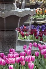 Tulipmania 2016, Gardens by the Bay, Flower Dome (gintks) Tags: flower beautiful singapore tulips bloom colourful floraldisplay flowerdome exploresingapore gardensbythebay singaporetourismboard gbtb yoursingapore gintaygintks