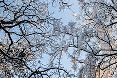 Look up to the skies and see... (OR_U) Tags: trees winter sky sunlight snow abstract germany deutschland frombelow queen oru 2016 helmstedt