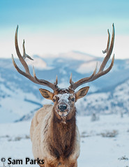 EK72 (Sam Parks Photography) Tags: winter snow male animal vertical closeup rockies mammal frost nps wildlife large meadow bluesky frosty headshot bull antlers valley yellowstonenationalpark trophy rockymountains wyoming tight hoof ungulate wapiti ynp frosted herbivore biggame parkservice hooves gye cervidae herbivorous hooved rockymountainelk northernrange cervuscanadensis hoofedmammal winterrange winteringgrounds cervid greateryellowstoneecosystem cervine