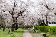 (Wunkai) Tags: japan  cherryblossom sakura    ibarakiken mitoshi sannomaru   kodokanpark