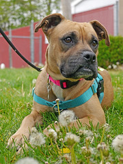Sarah_06 (AbbyB.) Tags: flowers rescue dog pet yard newjersey weeds canine boxer shelter adopt shelterpet petphotography easthanovernj mtpleasantanimalshelter