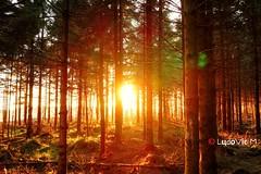 Fagnes - 22 - Forest's sunset (Ld\/) Tags: sunset sun forest soleil belgium belgique ardennen ardennes sunny venn fort hautes fagnes venen hohes waimes