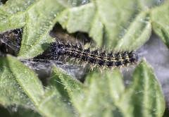 Small Tortoiseshell caterpillar (Marcell Krpti) Tags: hungary lepidoptera caterpillar juvenile smalltortoiseshell magyarorszg nymphalidae nymphalisurticae nymphalinae pszt kisrkalepke