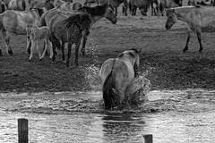Wild Horses in black-and-white - Bathing - 2016-015_Web (berni.radke) Tags: horse pony bathing herd nordrheinwestfalen colt wildhorses foal fohlen croy herde dlmen feralhorses wildpferdebahn merfelderbruch merfeld przewalskipferd wildpferde dlmenerwildpferd equusferus dlmenerpferd dlmenpony herzogvoncroy wildhorsetrack