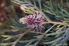 Mount Coot-tha Botanical Garden, Brisbane (Tatters ) Tags: flowers australia hybrid botanicgarden grevillea proteaceae mcbgb grevilleadorothygordon
