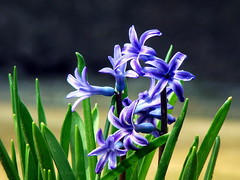 Blue Hyacinth (R_Ivanova) Tags: flowers blue plant flower color green nature colors garden spring sony hyacinth    rivanova