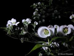 Cornus florida (Shiori Hosomi) Tags: flowers plants japan night tokyo nocturnal nightshot april   cornus 2016  cornaceae   cornales  noctuary flowersinthenight noctivagant  23