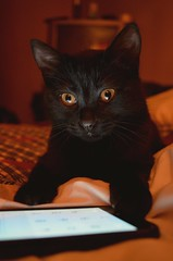 Molly (Nicholas Williams Swift) Tags: pet black yellow cat eyes nikon negro kitty molly amarillo ojos gata negra mascota gatita catlover d5100