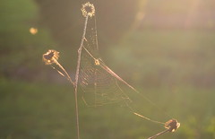 Spinnennetz (max.hau11) Tags: sun nature backlight outdoors spring natur cobweb sonne spinnennetz frhling gegenlicht drausen