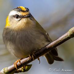 Goudhaan(tje) / Goldcrest _3415 (rob.bremer) Tags: bird outdoor wildlife dunes aves duinen castricum vogel kennemerduinen goldcrest regulusregulus infiltratiegebied goudhaan noordhollandsduinreservaat
