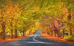 The Avenue In Autumn || MT WILSON || BLUE MOUNTAINS (rhyspope) Tags: road street new blue autumn trees red orange pope mountains color colour tree fall yellow wales canon south australia nsw 5d aussie avenue rhys mkii rhyspope