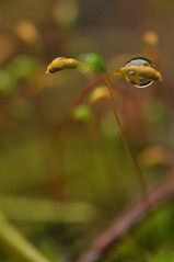A whole other world (juliecarmen.fahy) Tags: plants macro water moss drops cosmos microcosmos macrophotography macrophotographie