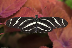 Butterfly 2016-19 (michaelramsdell1967) Tags: red wild detail macro love nature beautiful beauty animal closeup butterfly bug garden insect photo spring nikon focus natural cincinnati wildlife tail insects photograph zen zebra upclose photogrphy zebratail