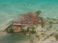 Petite Terre underwater - Guadeloupe (Kri1978) Tags: underwater stingray turtles terre fishes tortue petite guadeloupe raye