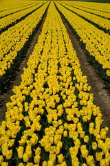 "Tulipa ""Strong Gold"" (larry_antwerp) Tags: flower netherlands nederland tulip tulp hulst flowerbulb zandberg"