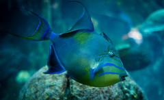 Funky eye fish (kuntheaprum) Tags: fish seahorse acquarium newengland