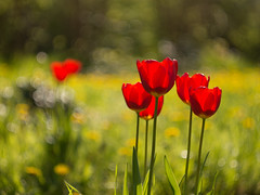 Red is love (A_Peach) Tags: red plant flower rot spring dof tulips bokeh pflanze blume frhling helios tulpen helios442 panasoniclumixg5