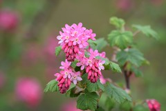 Red-flowering Currant (careth@2012) Tags: spring redfloweringcurrant