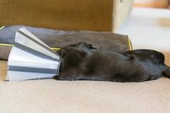 DSC02096.jpg (cadillacjr2002) Tags: dog labrador clancy