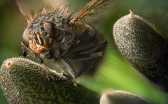Close up fly (Rani Joensen) Tags: macro green canon fly is focus 21 images 100mm stack sharp l usm 6d sharpness
