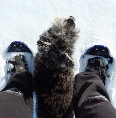 Let the snowshoeing begin... (Pep's Hiking Team) Tags: dog nikon hiking schnauzer snowshoeing snowshoes snowdog 2015 traildog wildernessdogs adventuresniffer