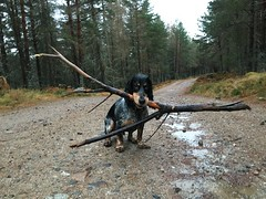 What do you mean this stick is too big? (toughsl) Tags: winter wet scotland big sam stick raining cairngormsnationalpark festiveseason boxingdaywalk highburnsidewoods