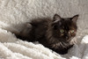 Litchi (sjambois) Tags: cat kitten chat janvier chaton litchi 2016 persan janvier2016