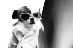 A dogs life (vesterskov) Tags: life light portrait blackandwhite bw dog white 3 black macro dogs speed lite happy photography prime photo wire foto dof purple bokeh daniel portait sony flash small sigma pixie full og hund f manuel frame wireless fixed stick 28 manual fullframe dslr makro blitz 90mm sh fetch 90 sort speedlight f28 less slt hvid fotografi portrt adogslife speedlite a99 sortoghvid yongnuo vesterskov yn560 slta99v slta99 a99v yn560iii yn560tx yn5603