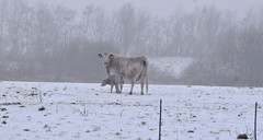 New little calf (ibbadib) Tags: winter snow cold fog cow frost calf