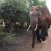 Yala - Wild Elephant