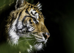 Fearful Symmetry (Paul E.M.) Tags: shadow tiger profile safaripark williamblake sdzoo thetyger