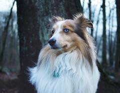 Blue Steel (faiteach) Tags: dog pets dogs blueeyes sheltie fluffy bluesteel shetlandsheepdog heterochromia sheltiea
