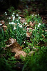 Snowdrops (judy dean) Tags: naturethroughthelens